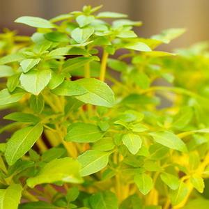 melyik növény merevedésre