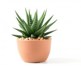 A kaktusz sérült önérzetre utal a Feng Shui szerint
