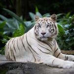 A Fehér Tigris a méltóság és a fegyelem jelképe